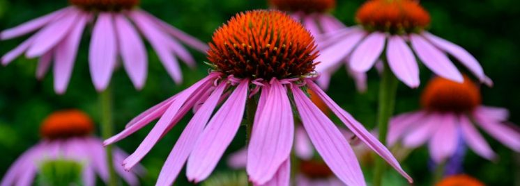 proprietà e benefici dell'echinacea